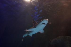 Sharks at SeaLife Aquarium in Orlando, Florida